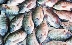 The Tilapia Fish Incredible Benefits